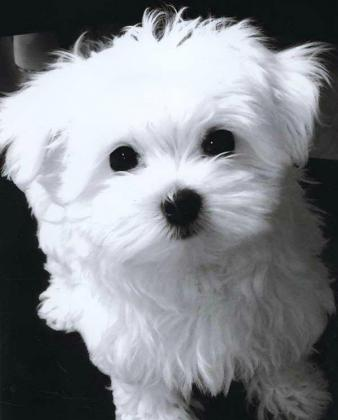 Gorgeous snow white maltese  puppy male and female