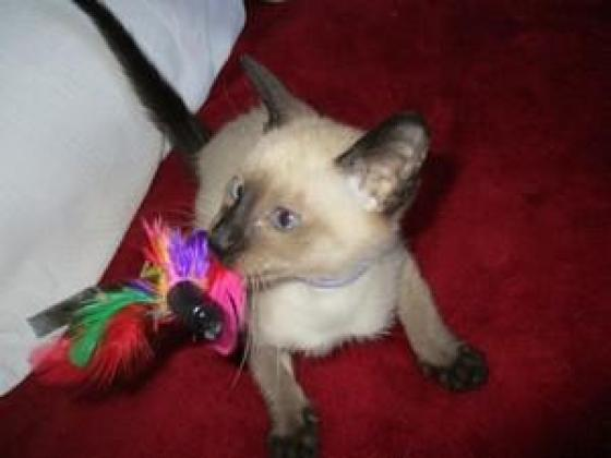 Healthy pure breed cute Siamese kittens for sale
