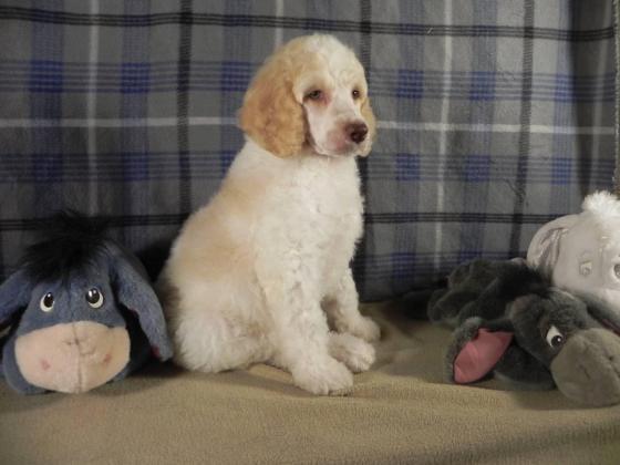 Kusa standard poodle puppies
