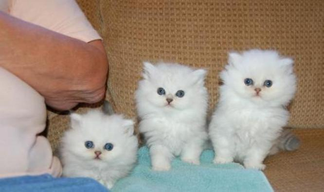lovely cute sweet Beautiful Persian kittens for sale