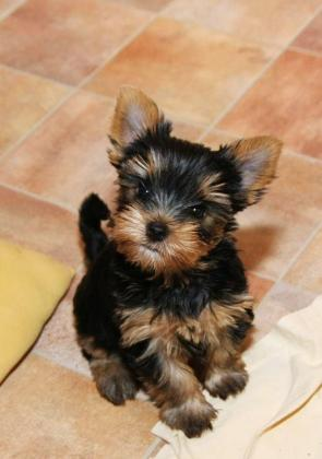 pure breed Yorkshire terrier for sale