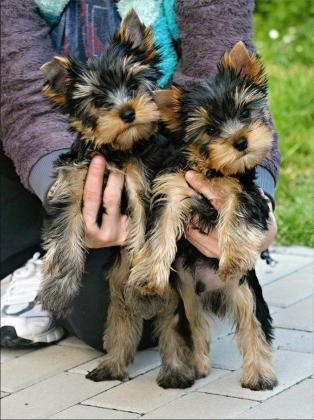 Vet checked, innoculated and dewormed yorkshire terrier