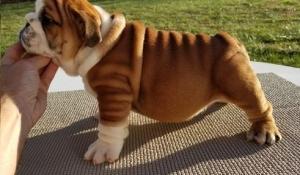 Nice English Bulldog Puppies