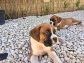 Gorgeous male and female boxer puppies.