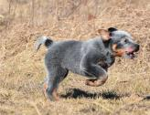 KUSA AUSTRALIAN CATTLE DOG/ RED & BLUE HEELER