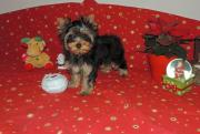 Pedigree Toy yorkshire terrier puppies