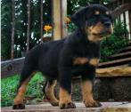 Rottweiler puppies for you