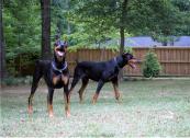 Top Euro kusa Working/Conformation Doberman Pinscher Puppies
