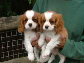 Beautiful purebred Cavalier King Charles Spaniel PUPPIES for sale