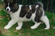 Lovely tricolour Akita puppies available.