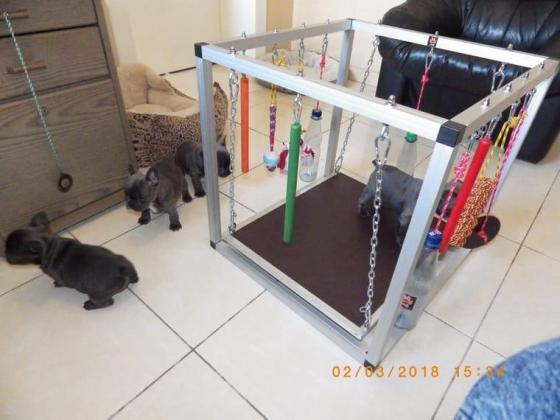 4 Beautiful Registered Blue Male and female  Frenchies