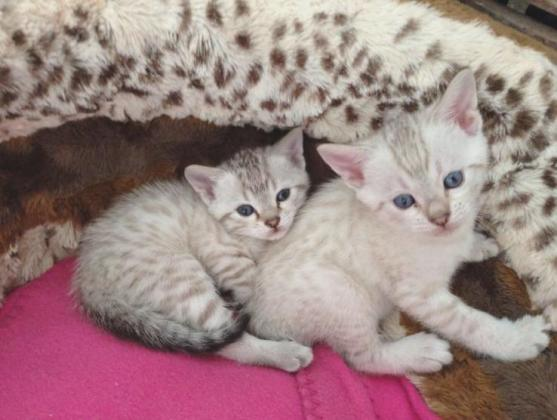 Active And Fantastic Bengal Kittens For Sale