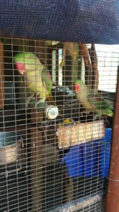 quality parrots and eggs for sale.