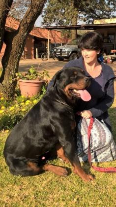 Stunning KUSA registered Large Breed Rottweiler pups