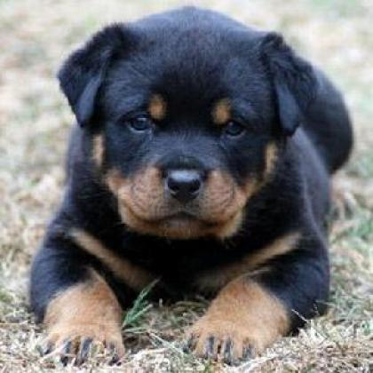 Top Quality Rottweiler Puppies 27634288307 Dog Breeders Gallery