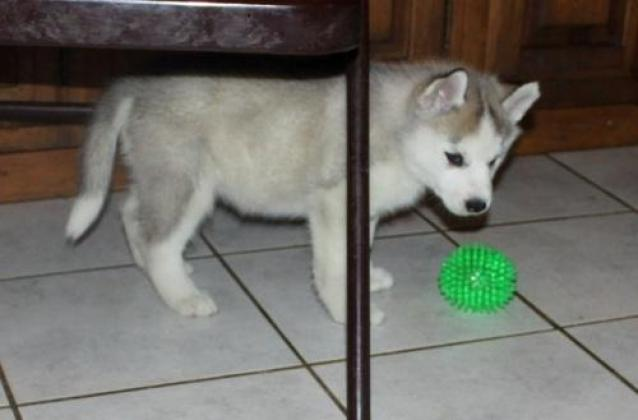 Top quality Siberian Husky puppies.
