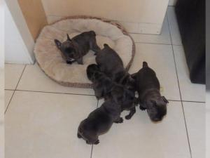 4 Beautiful Registered Blue Male and female  Fr...