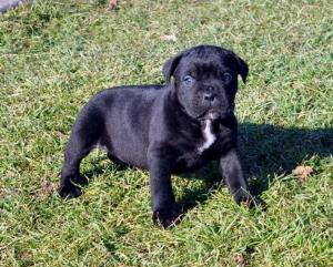 World Champion Cane Corso Puppys For Sale