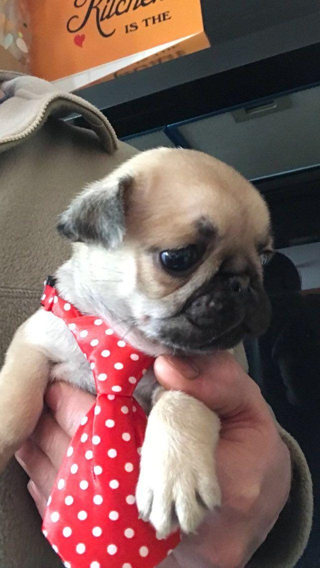 Pug Puppies For Sale Barkly East Pug Puppies Dog Breeders