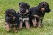 GORGEOUS & AMAZING German Shepherd PUPPIES Available For RE-HOMING
