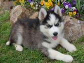 Adorable Siberian Husky Puppies