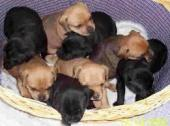 bull puppies for sale