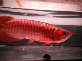 Buy Asian Arowana fishes of many kinds available for promotional prices