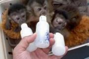 Capuchin,marmoset,squirrel and Vervet monkeys For Sale
