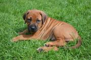 Kusa registeted Rhodesian Ridgeback puppies
