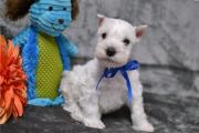 Miniature Schnauzer Puppies - Boys