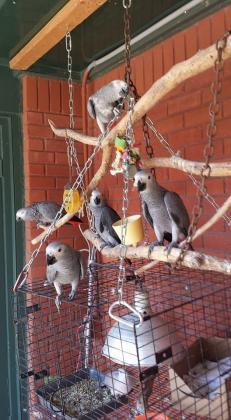 African Grey babies for sale