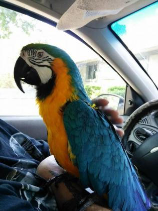 Beautiful Blue and Gold Macaws Available now for your home