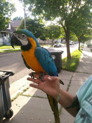 beautiful hand reared baby blue and gold macaws