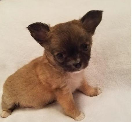 Chihuahua puppies ready for lovely family