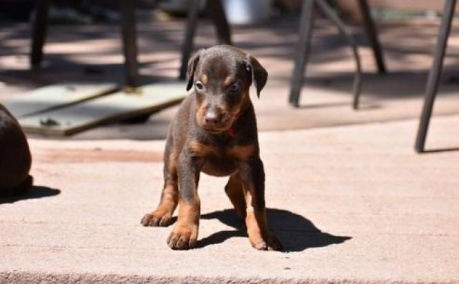 Doberman Pinscher Puppies For Sale Bushbuckridge Doberman