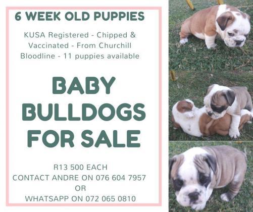 English Bulldog Puppies for Sale - Pretoria