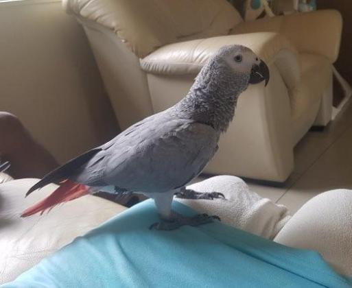 Handreared parrots for sale