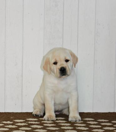 Lovable Cuddly Labrador Retriever Puppies