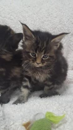 Male and Female Maine Coon Kittens Ready For Their Forever Homes
