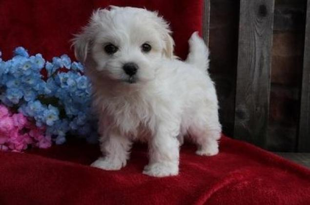 Maltese Puppies For Sale East London Maltese Puppies Dog Breeders Gallery