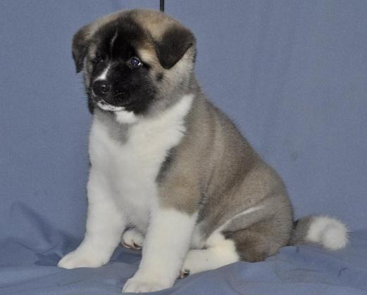 sweet spunky little Akita puppy