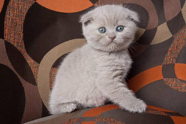 Scottish Fold and straight Kittens Available For Sale.