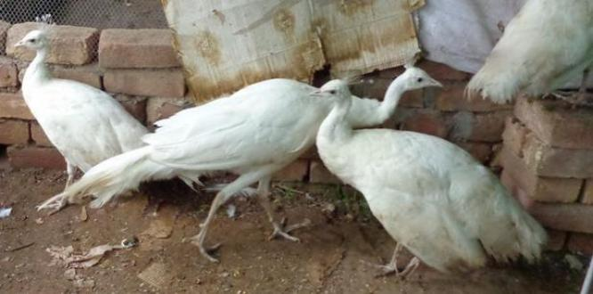 Hand Raised Peacocks and Peahens For Sale