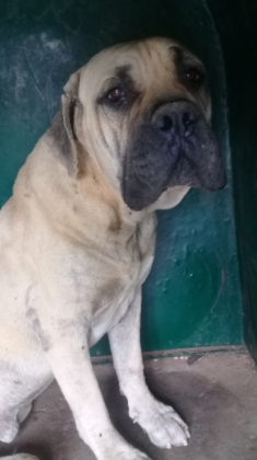Male and female boerboel for sale