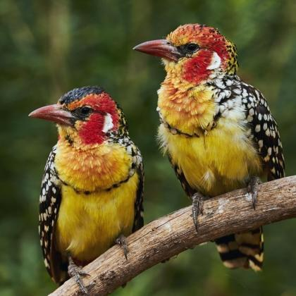 Wanted Red and Yellow Barbet Hen