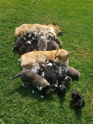 Welsh Pembroke Corgis for Sale