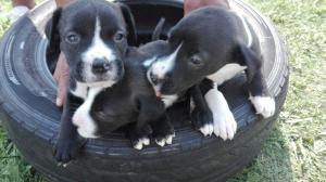 Pitbull X Boerbull Puppies