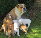 English bulldog for re-homing