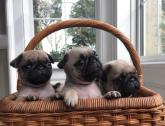Beautiful Pugs Puppies