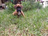 Purebred Boxer Puppies